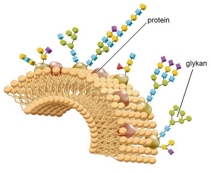 Separace N-glykanů na nové vícemodální koloně GlycanPac AXR-1 sep_01.jpg