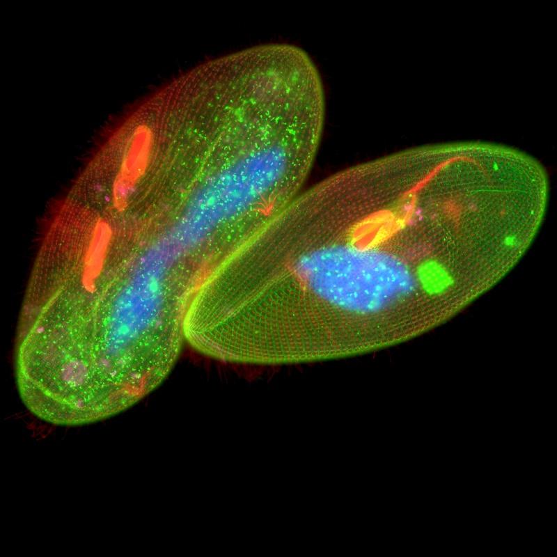 Fluorescenční snímek dvou jedinců trepky velké ( Paramecium caudatum ) (vlevo)