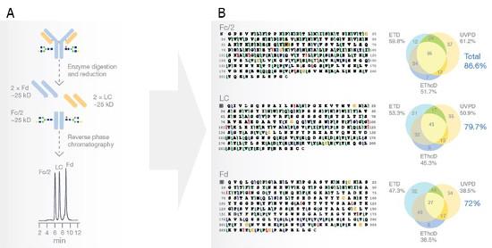 Obr. 2: Chromatografická separace tří segmentů (Fc/2, LC, Fd) monoklonální protilátky Rituximab (A) a následná identifikace jejich aminokyselinového složení pomocí analýzy UVPD, ETD a EThcD fragmentačních spekter, porovnání výtěžnosti v závislosti na použité fragmentační technice.