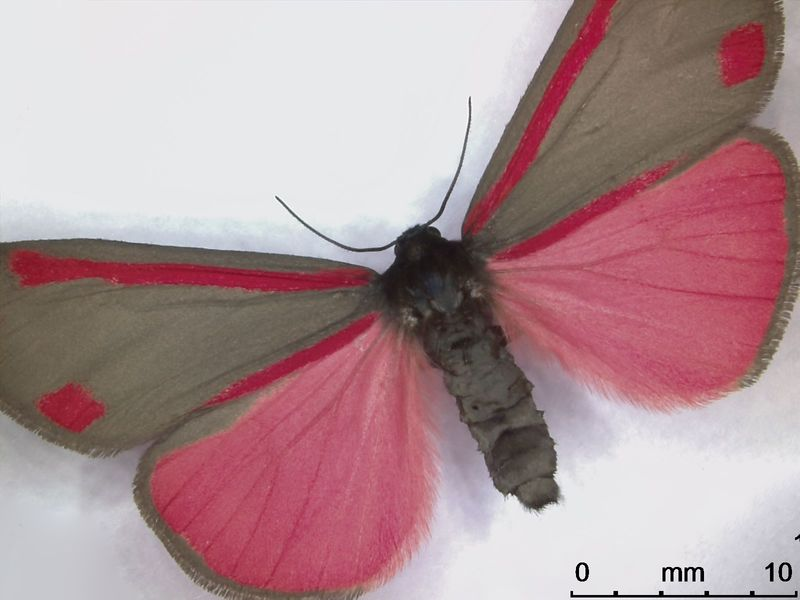 Leica_DVM6_004_cinnabar_moth_butterfly_L